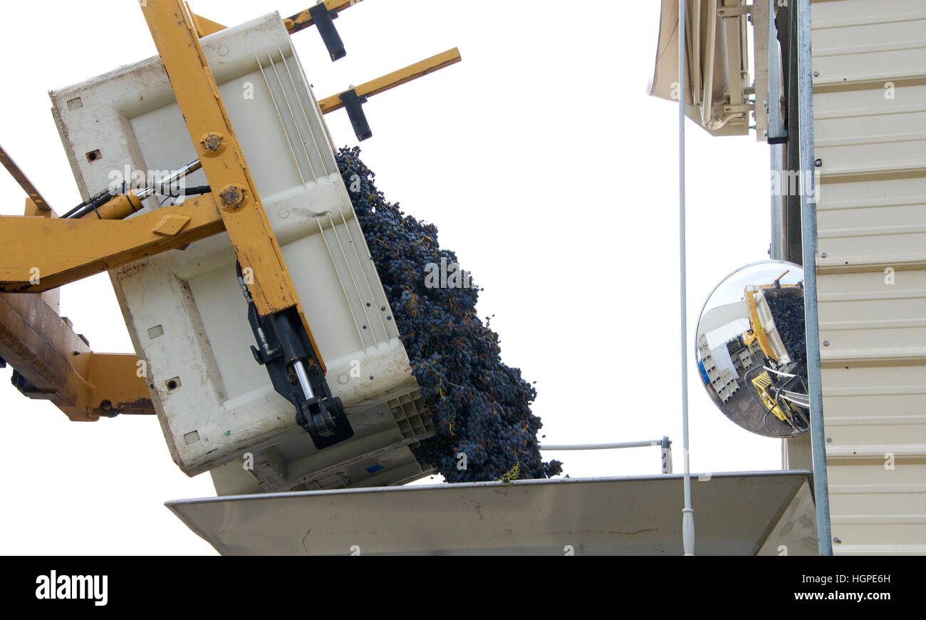 Forklift dumping bin of purple grapes into sorter for initial sorting prior to going to the crusher for wine making - Stock Image