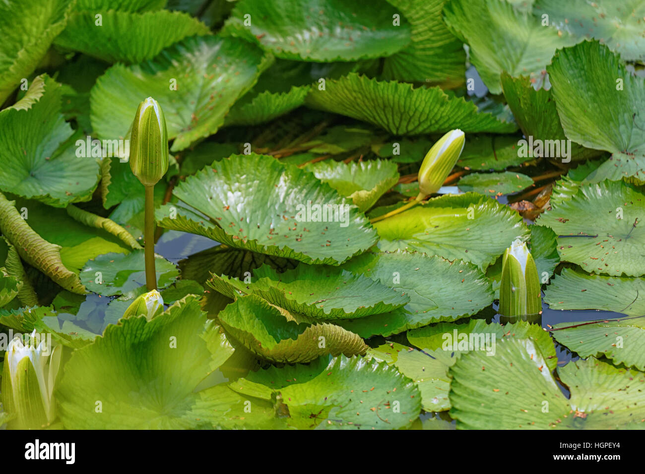 Unblown Flowers Of Lotus In A Thicket Of Foliage Stock Photo