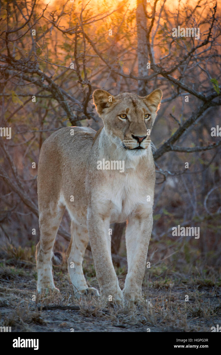 Young female lion in the wild  with sun shinning through the bush in the back ground - Stock Image