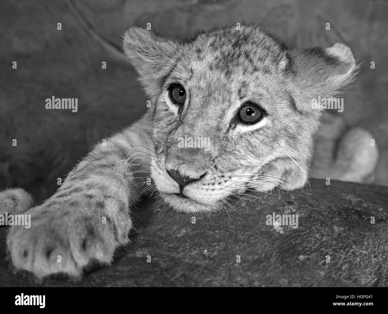 Baby lion closeup black and white - Stock Image