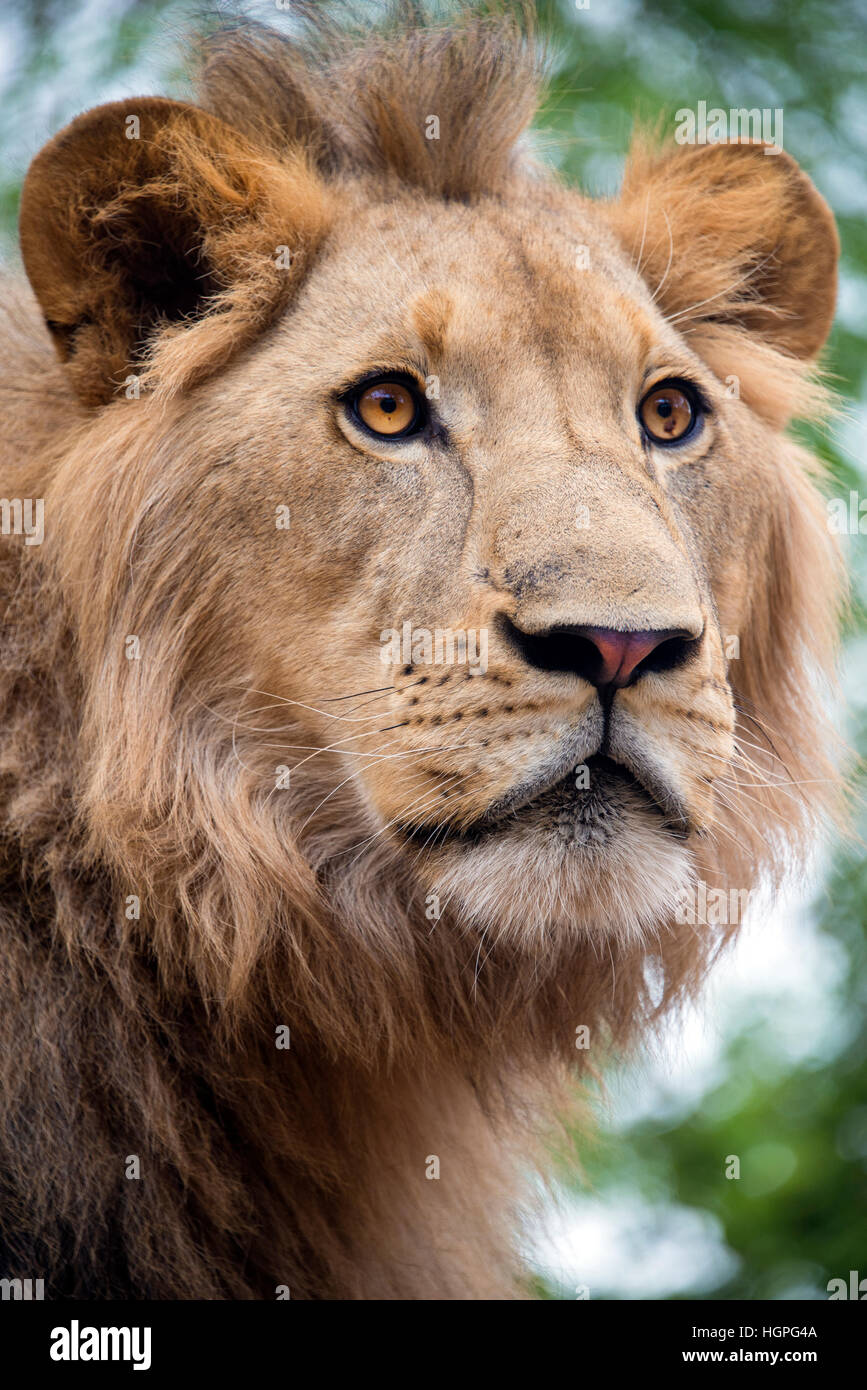 Young male lion close up portrait,  South Africa - Stock Image