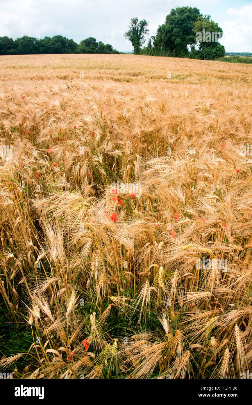Flowers in a Normandy wheat field, France - Stock Image