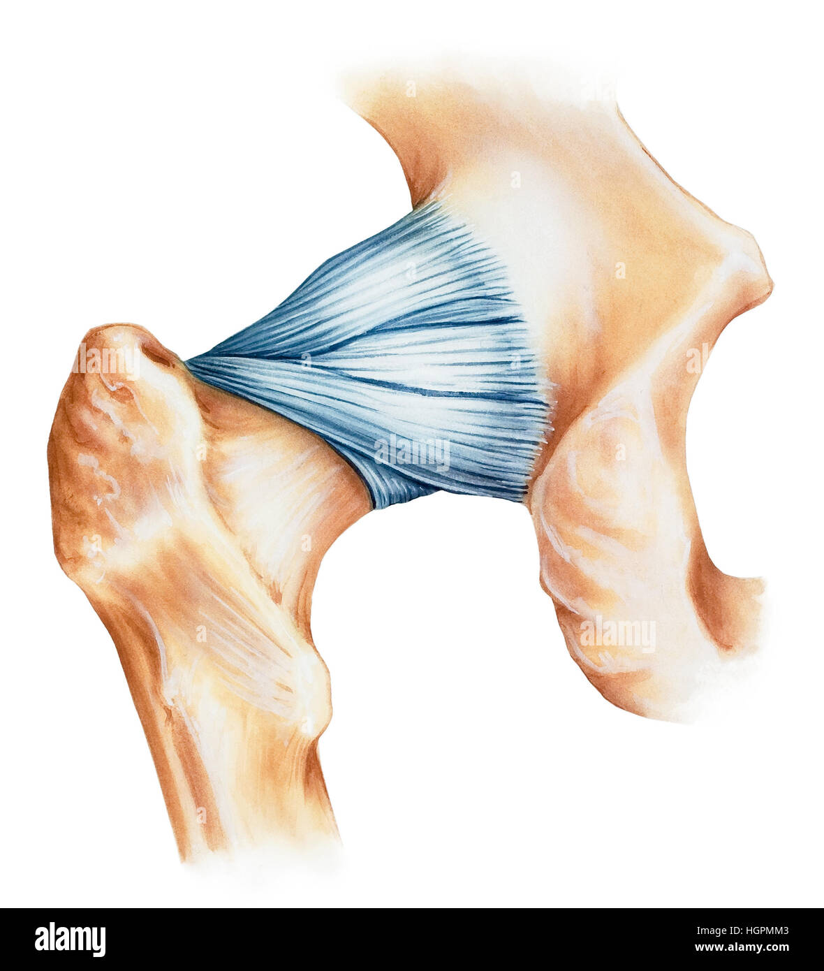 Hip joint capsule ligaments, dorsal view. Shown are the iliofemoral ligament (above), ischiofemoral ligament (center), Stock Photo