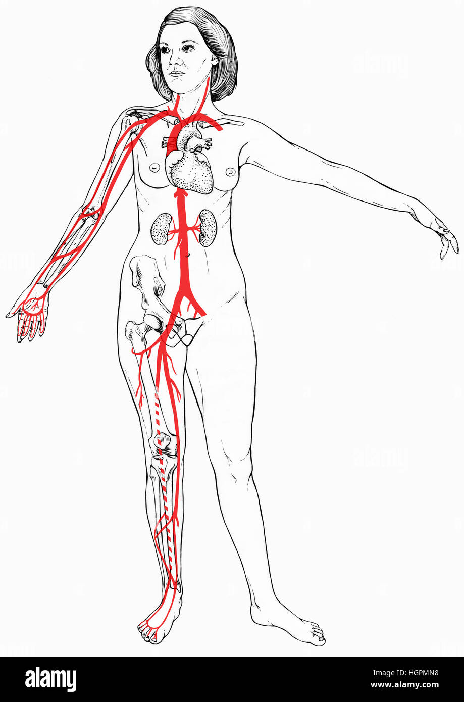 Female figure with select organs, bones visible and blood vessels ...