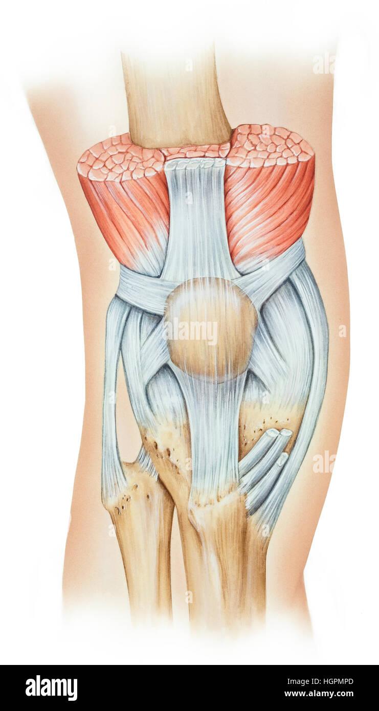 Vastus Medialis Muscle Stock Photos & Vastus Medialis Muscle Stock ...