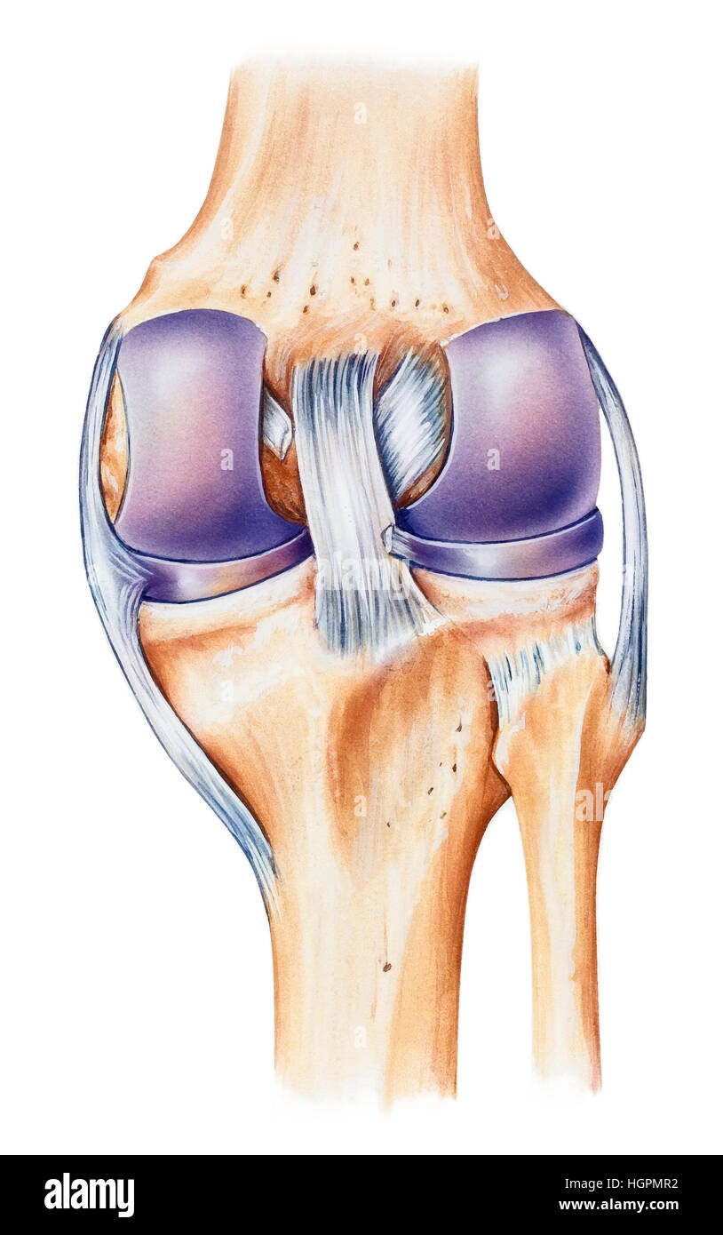 Normal human anatomy of a knee, dorsal view. Shown are the femur ...