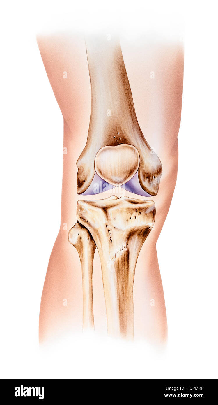 Normal Human Anatomy Of A Knee Front View Shown Are The Femur