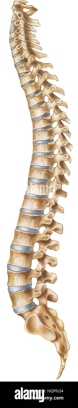 A normal human vertebral column (lateral view). Shown (from top to ...