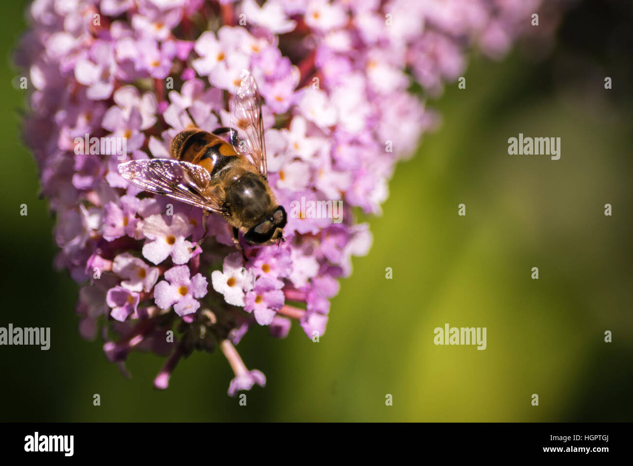 bee pollinating flower - Stock Image