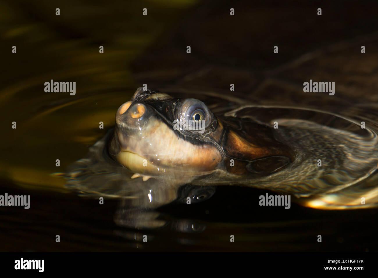 Arrau turtle, Oregon Zoo, Washington Park, Portland, Oregon - Stock Image