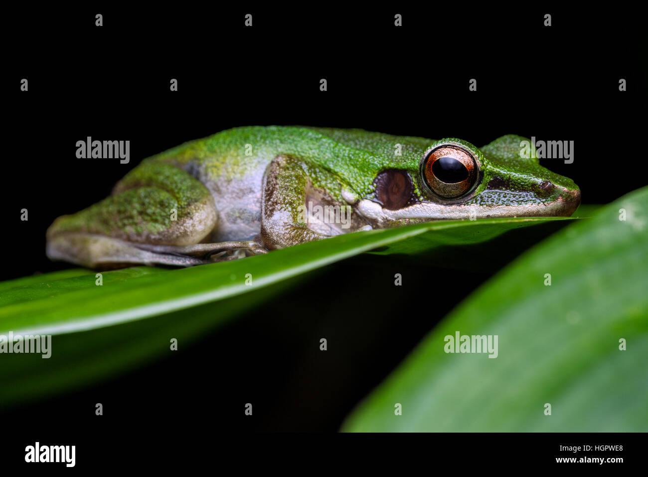White-lipped Frog (Hylarana labialis) - Stock Image