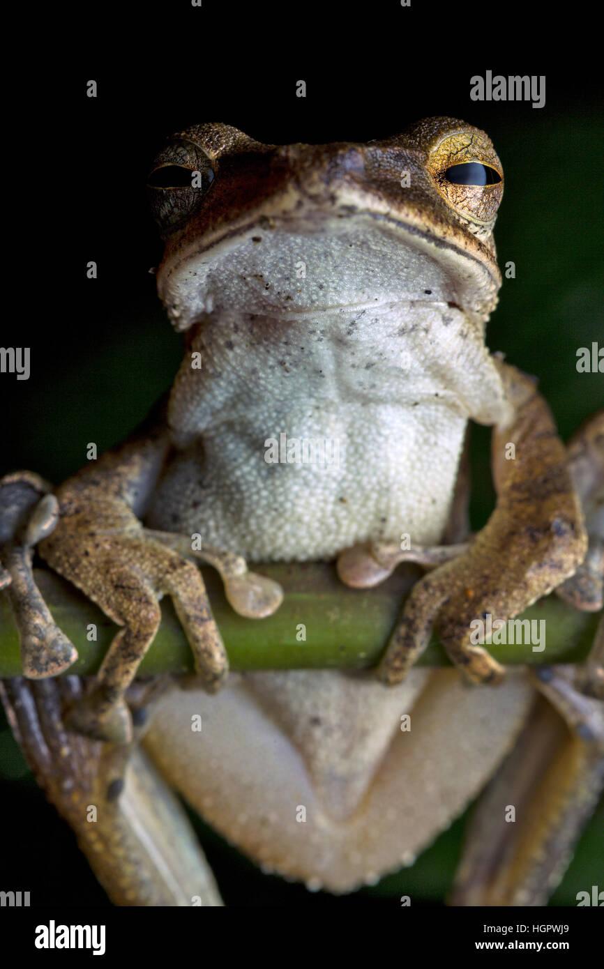 Common tree frog (Polypedates leucomystax) - Stock Image