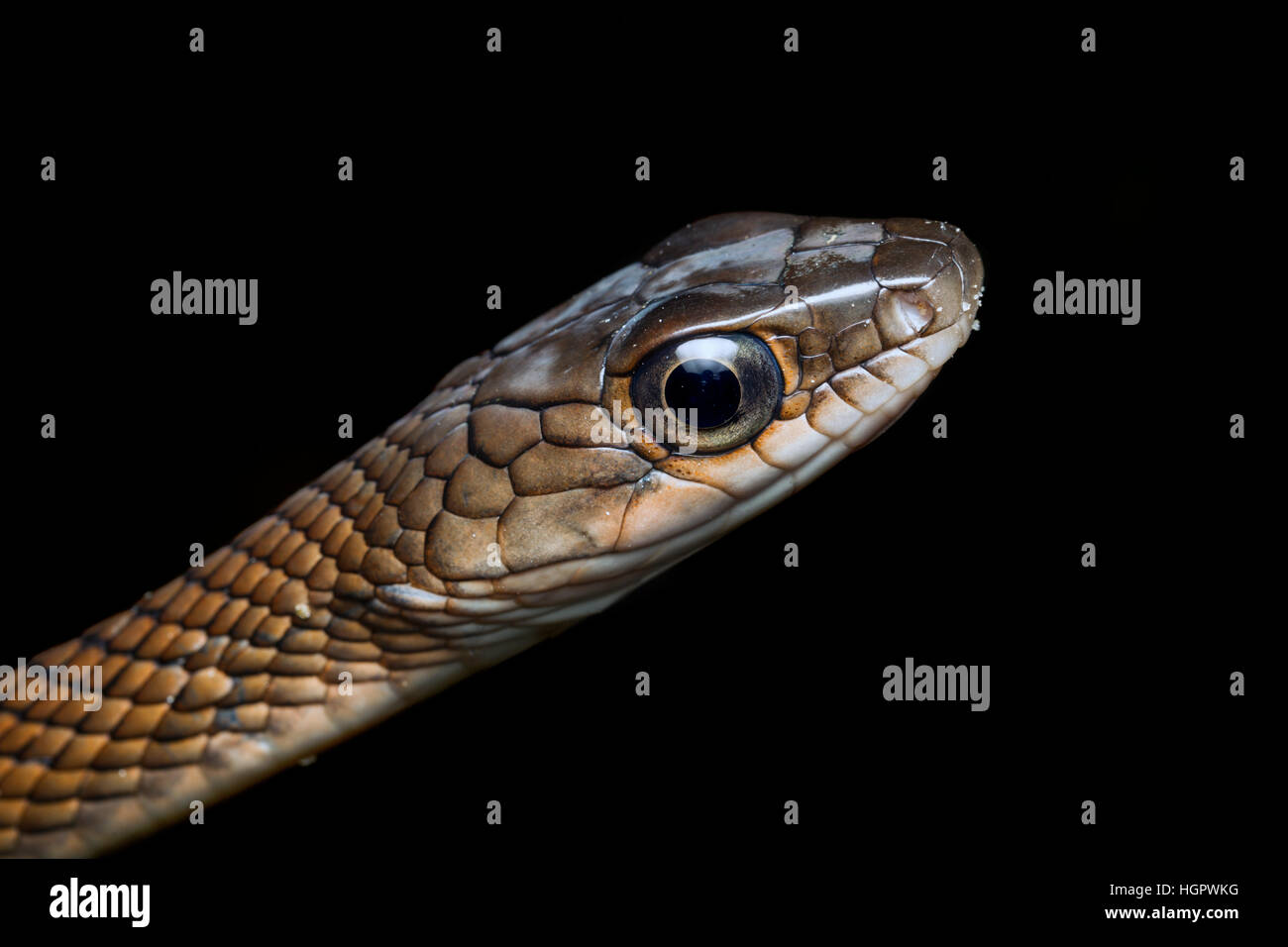 White-bellied Rat Snake (Ptyas fusca) in the tropical rainforest of Malaysia - Stock Image