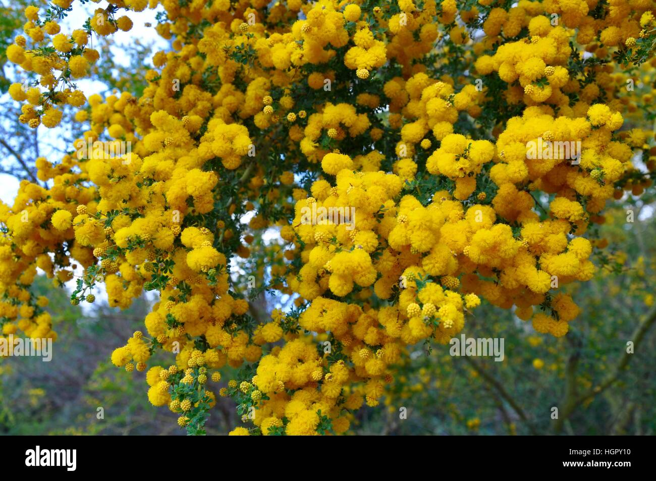 Clusters of golden wattle or acacia with bright ball like yellow clusters of golden wattle or acacia with bright ball like yellow flowers in western australia mightylinksfo