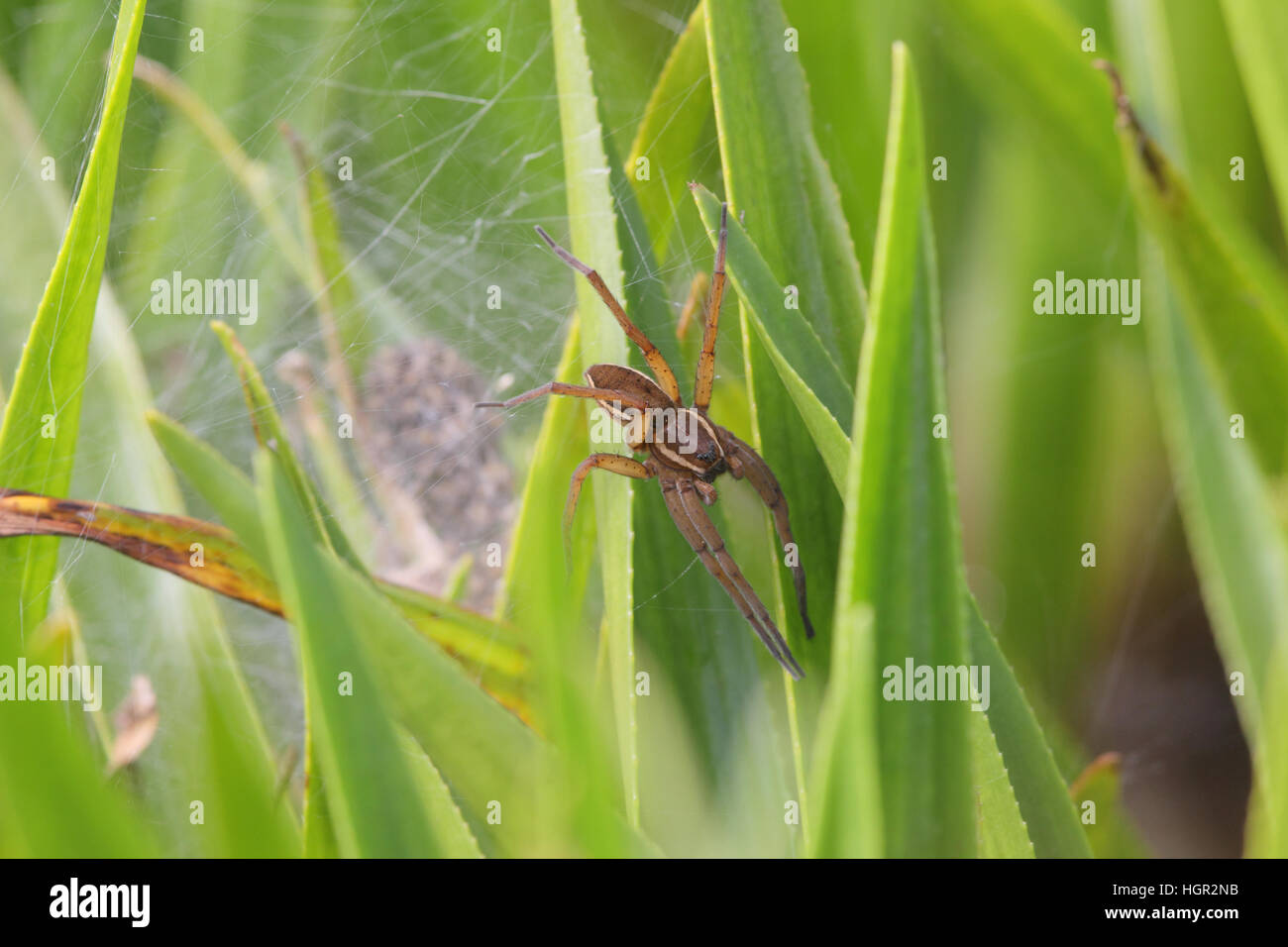 Female Fen Raft Spider (Dolomedes plantarius), from reintroduction scheme in East Anglia, guarding a web with spiderlings - Stock Image