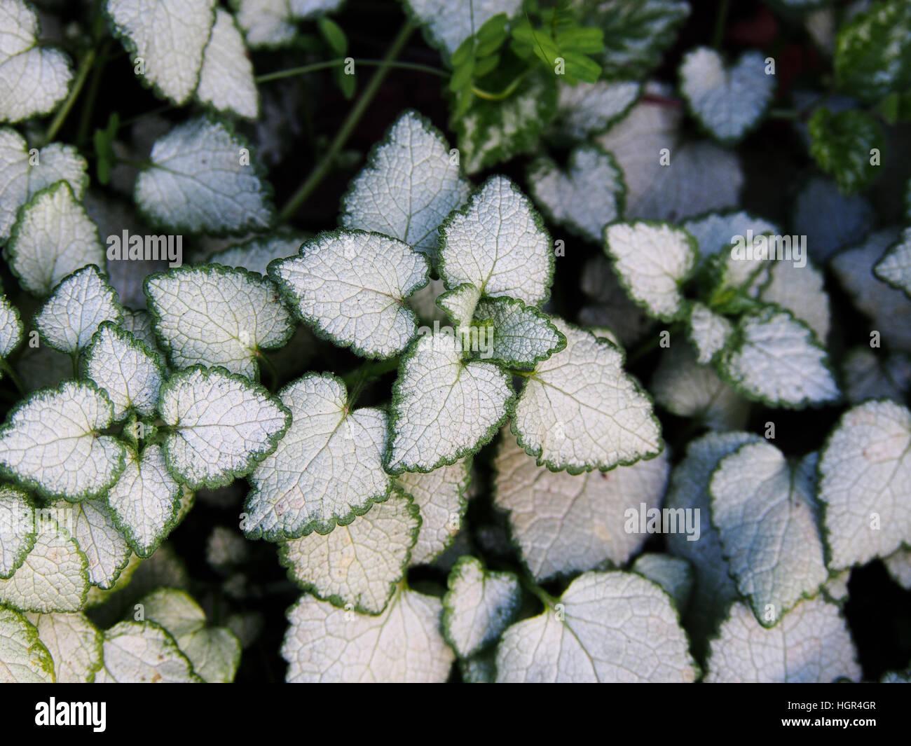 Lamium Maculatum White Nancy Spotted Henbit Spotted Dead Nettle