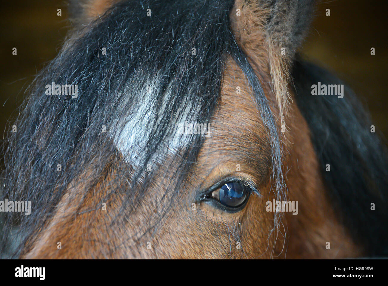 Bay horse eye close up - Stock Image