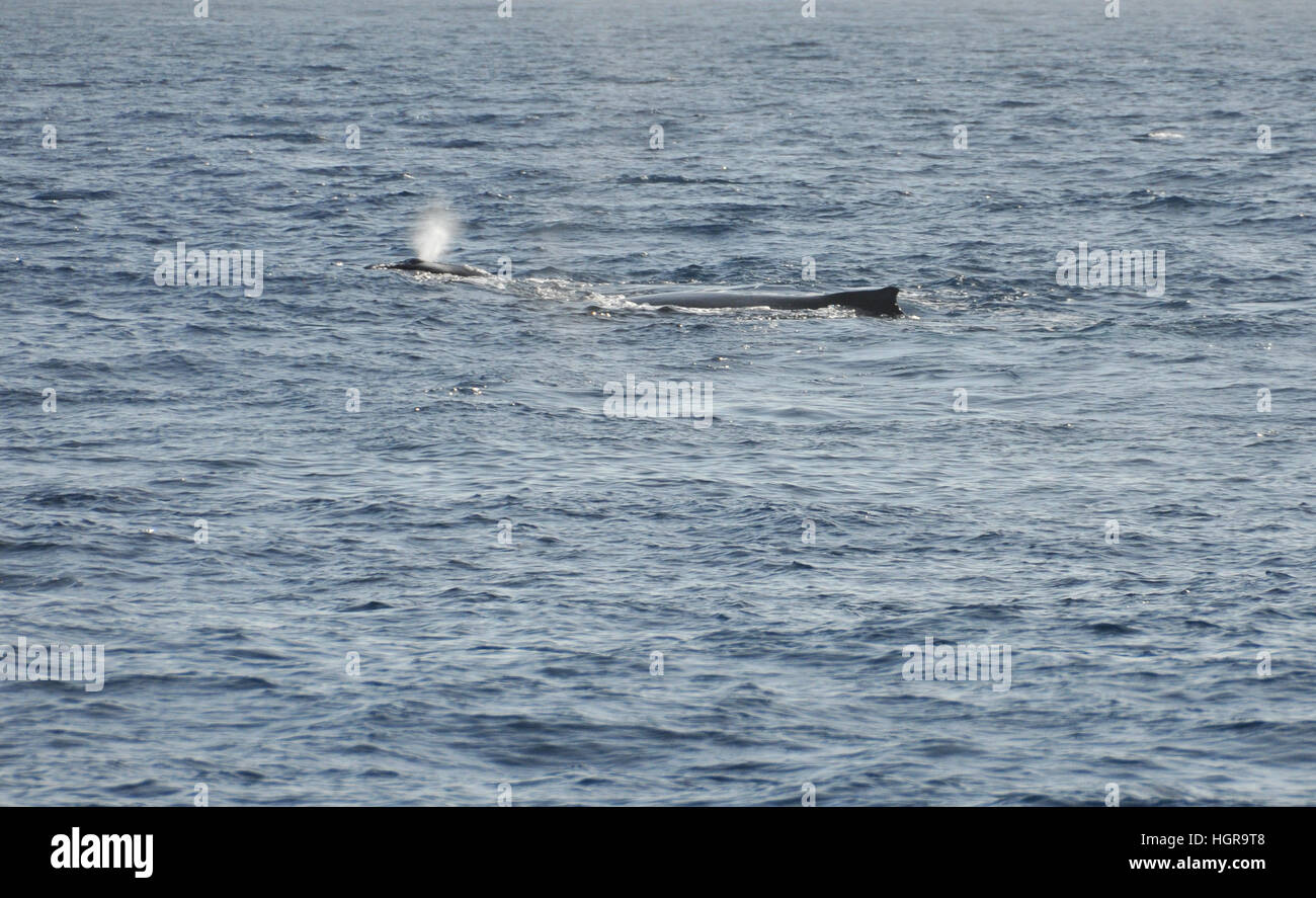 Breathe of the Whale Baby with his mother in the Indian Ocean near Reunion Island - Stock Image