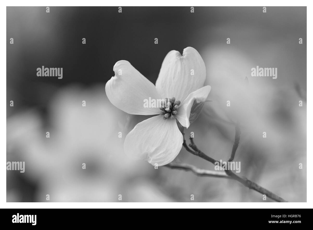 Single Dogwood Bloom with shallow Focus in Black and White Stock Photo