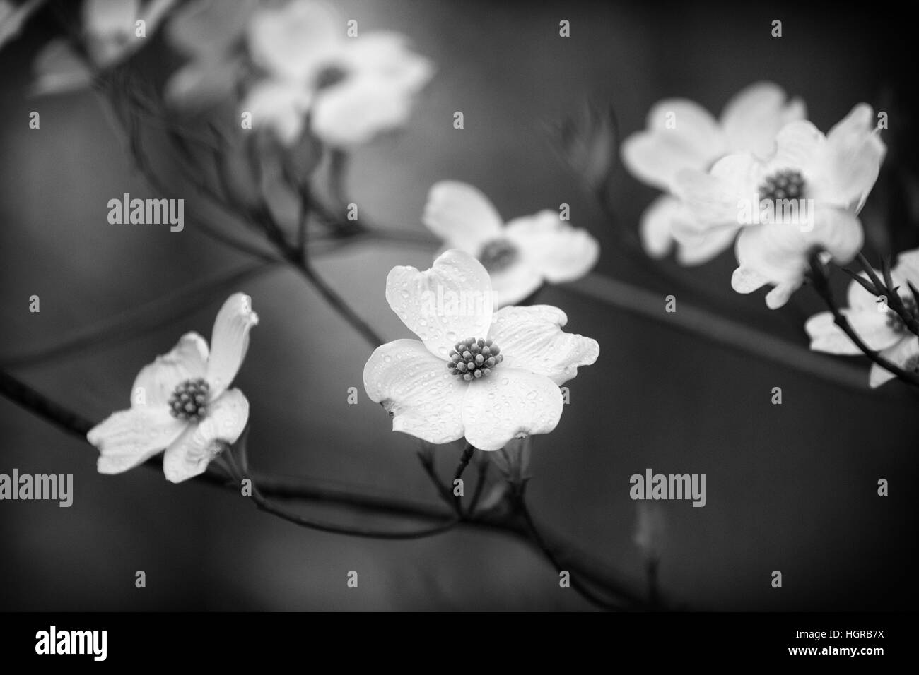 Blooming Dogwood tree in Black and White Stock Photo