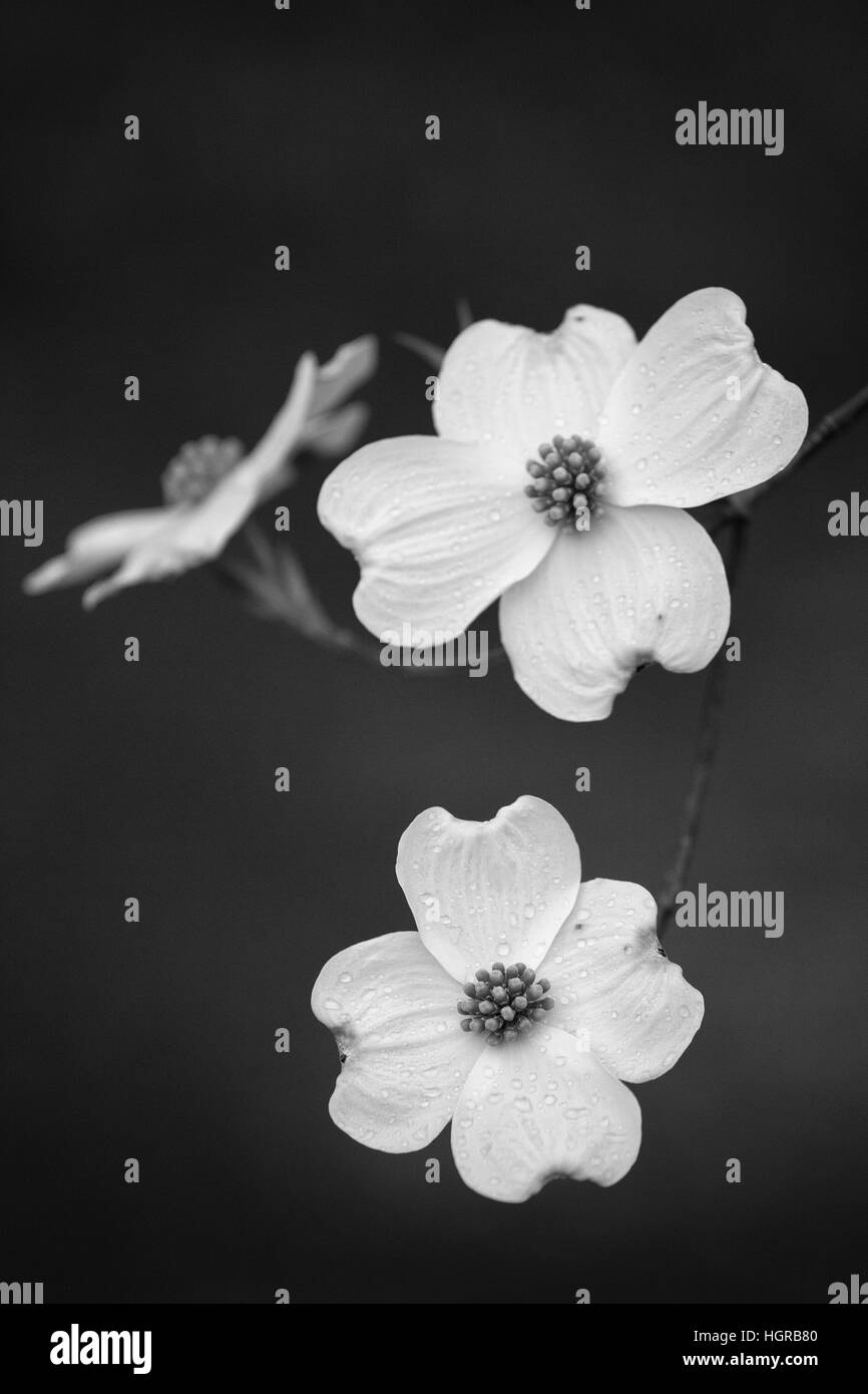 Dogwood Blossoms in Black and White Stock Photo