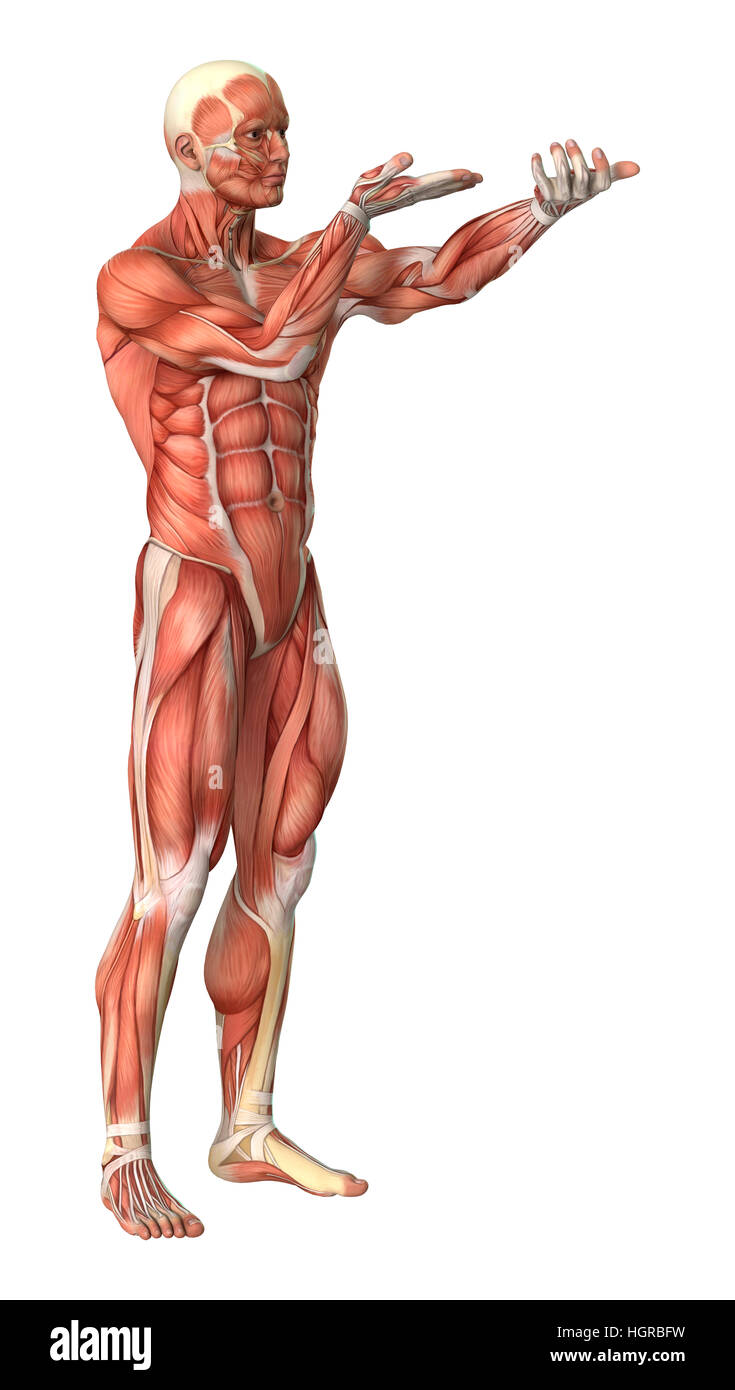 3D rendering of a male anatomy figure with muscles map isolated on ...
