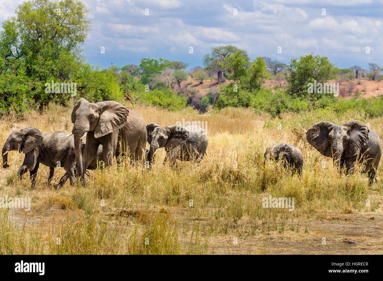 wild africa Elephants in Ruaha, safari - Stock Image