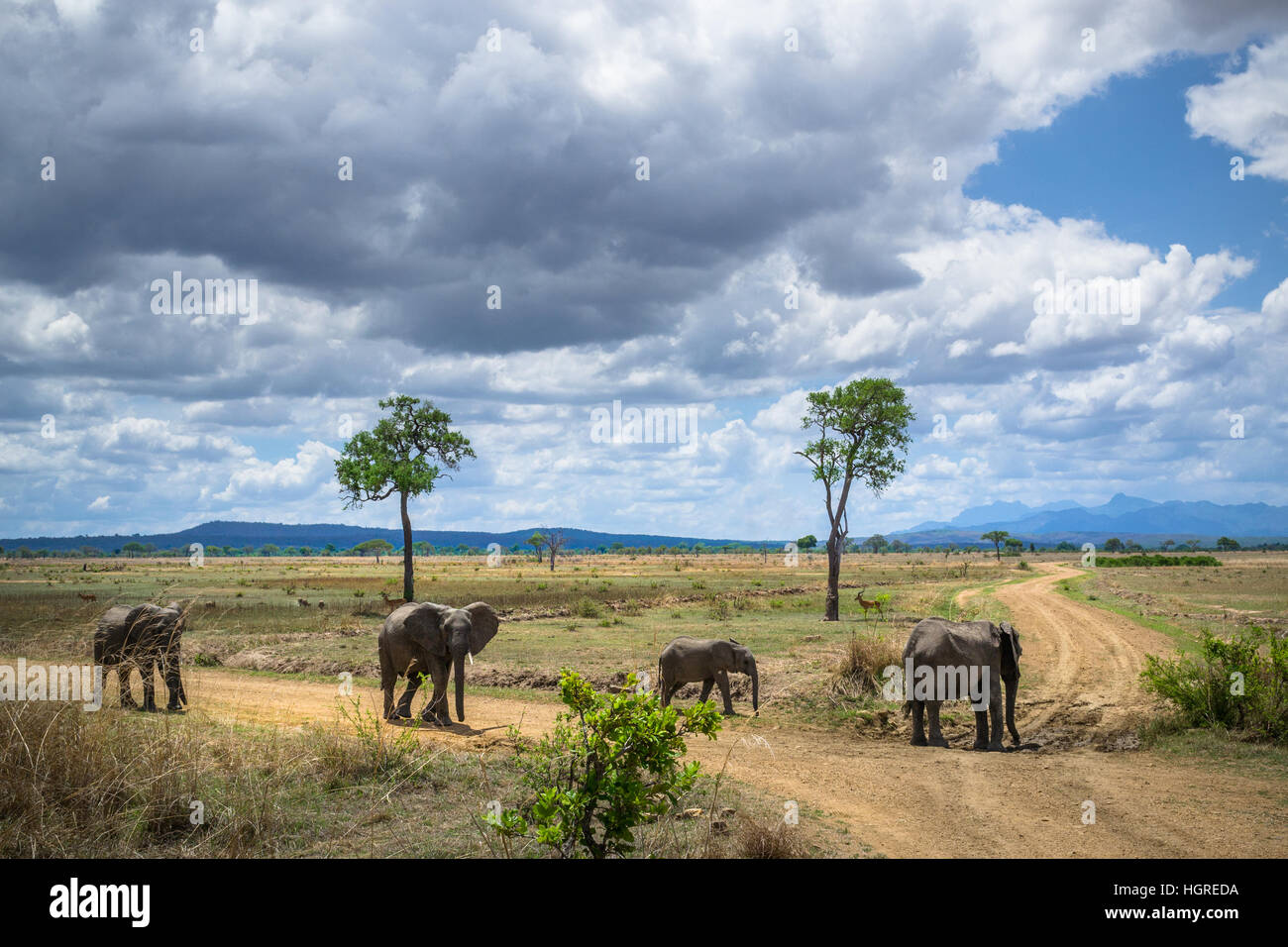 Wild elephants in Africa, Ruaha - Stock Image