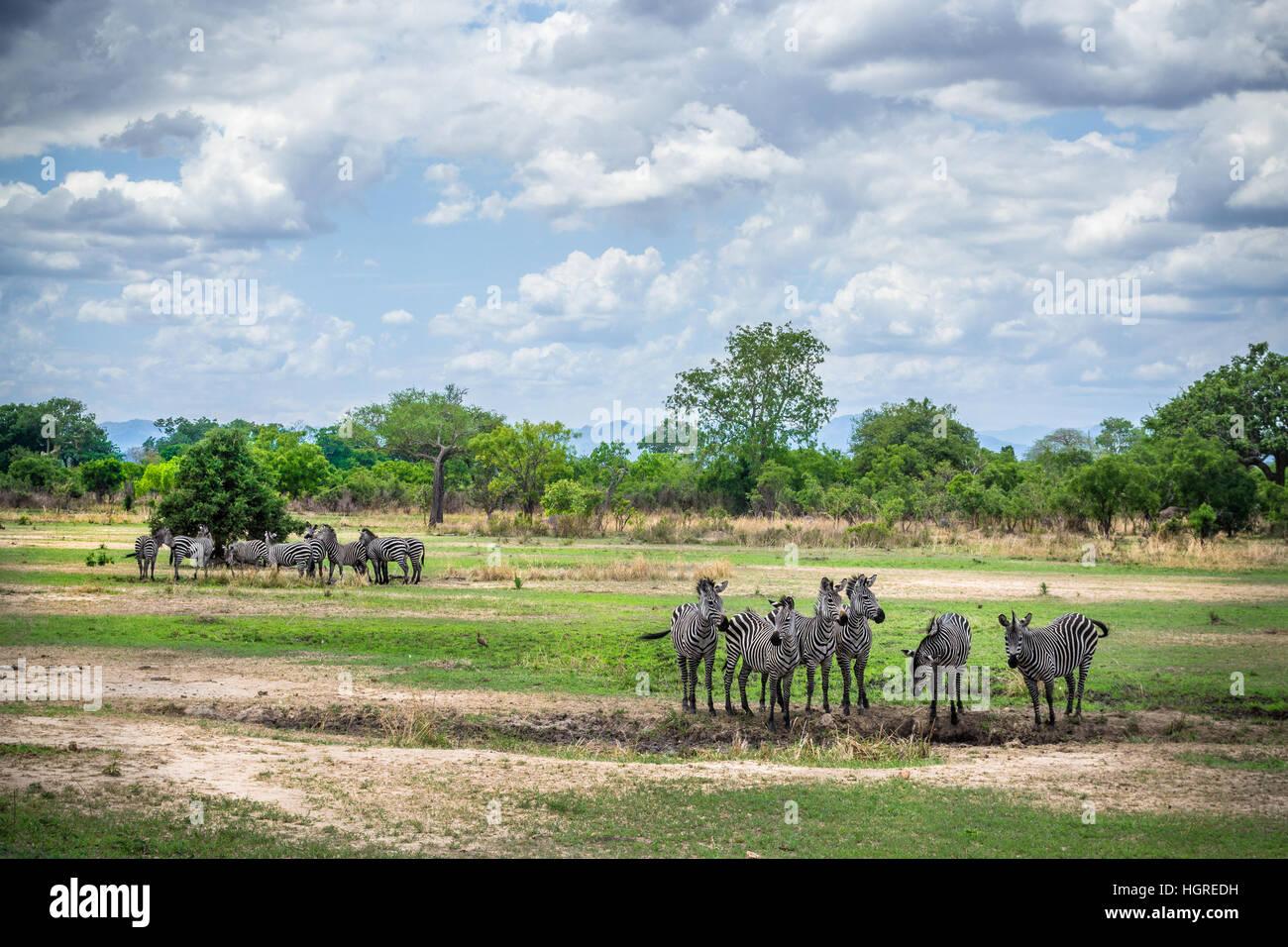 Africa wildlife, zebras on Ruaha, Tanzania, safari - Stock Image