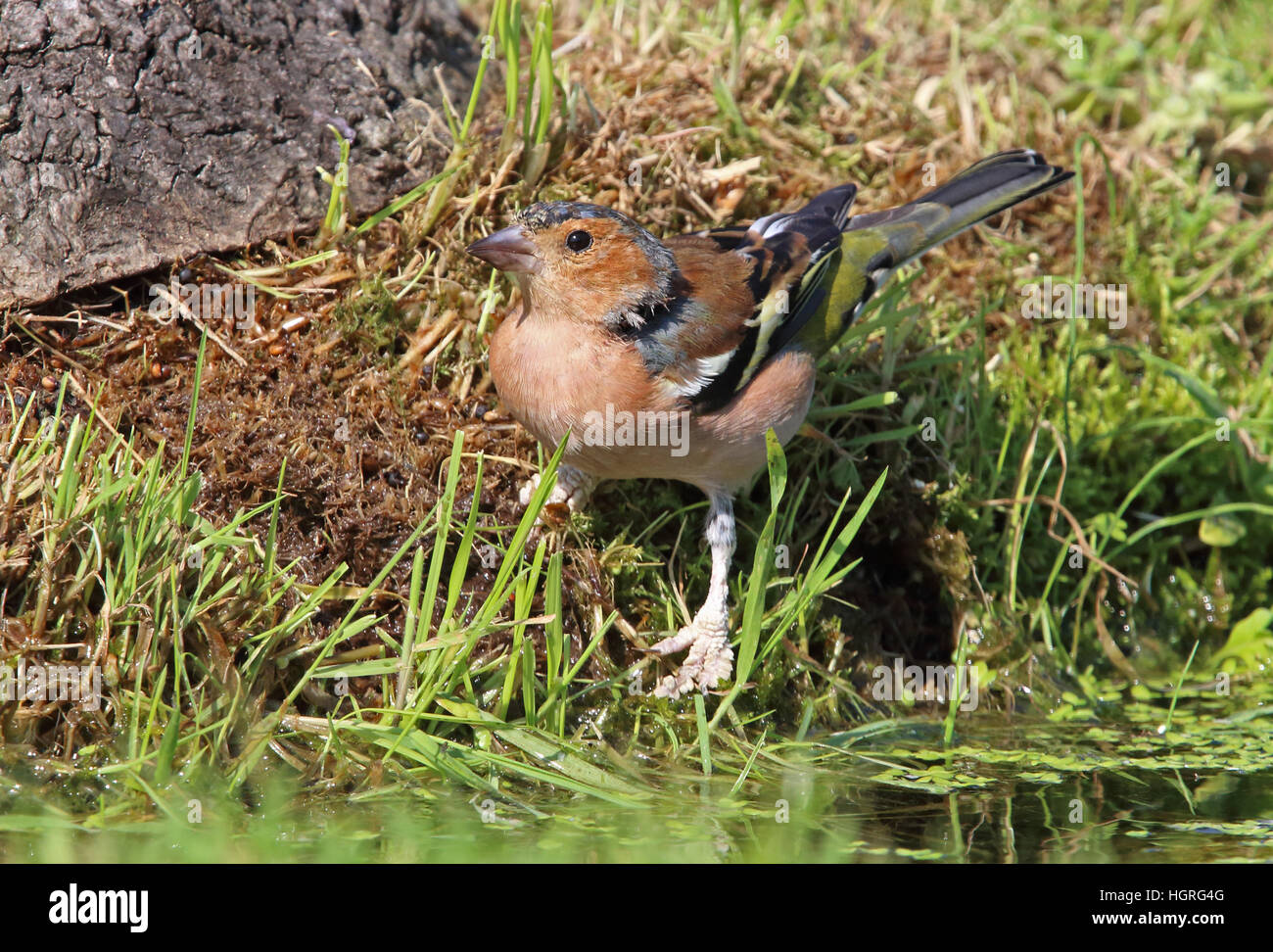 Common Chaffinch (Fringilla coelebs gengleri) adult male feet badly affected by 'Scaly foot'  Eccles-on - Stock Image