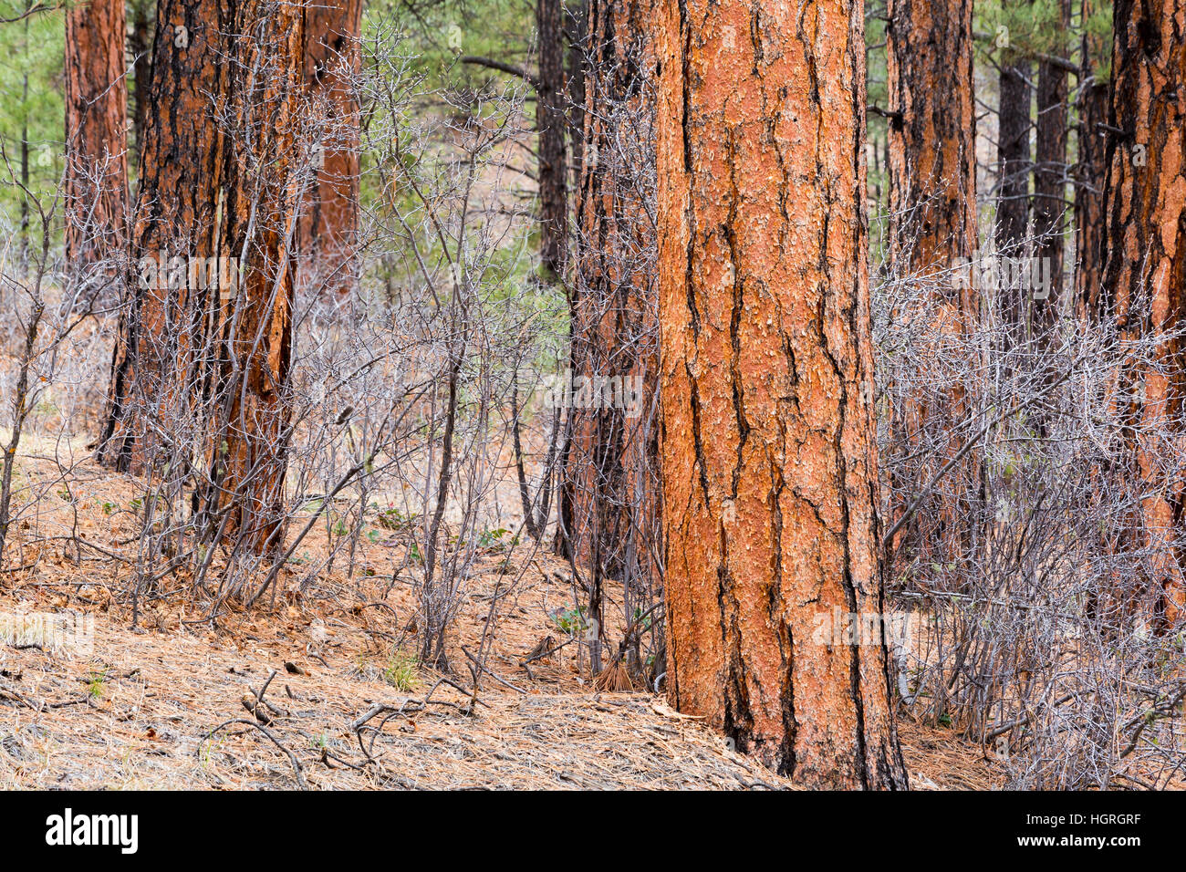 Oak trees scattered between older ponderosa pine tree trunks on the northern Kaibab Plateau. Kaibab National Forest, - Stock Image