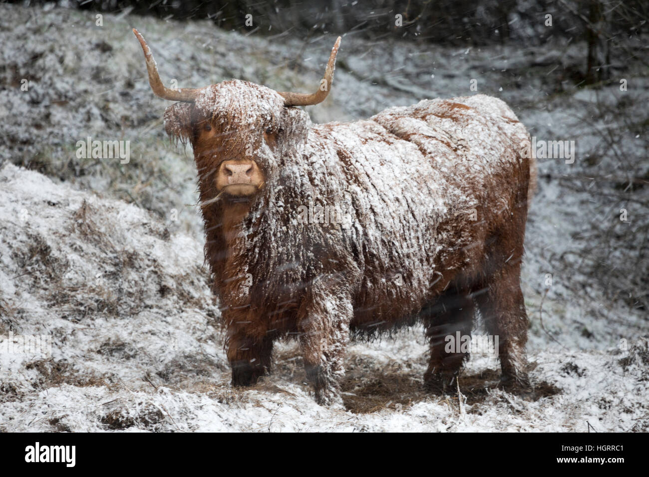 Flintshire, Wales, UK. 12th Jan, 2017. Yellow warning for snow issued for North Wales including Flintshire. As forecasted - Stock Image