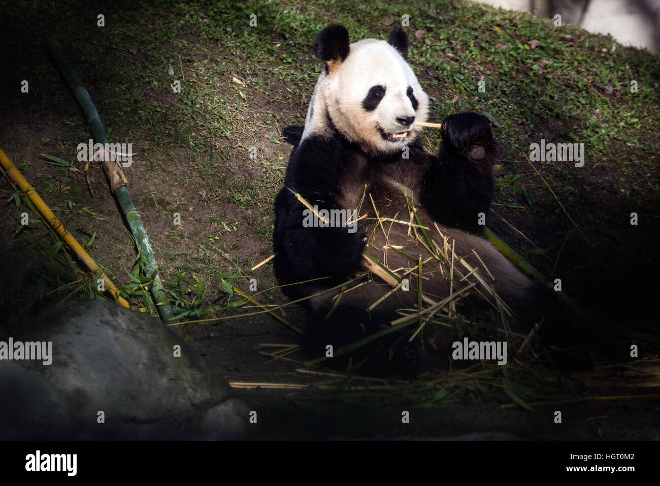 Madrid, Spain. 12th Jan, 2017. Panda Bing Xing, Chulina's father, eating bamboo during the presentation of Chulina - Stock Image