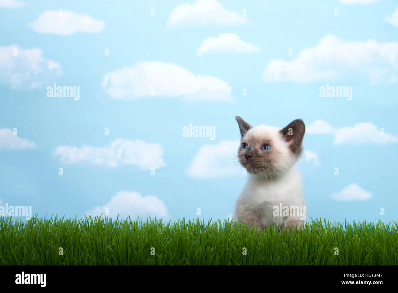 One tiny siamese kitten with munchkin traits sitting in grass looking up and to viewers left. Blue background, sky - Stock Image