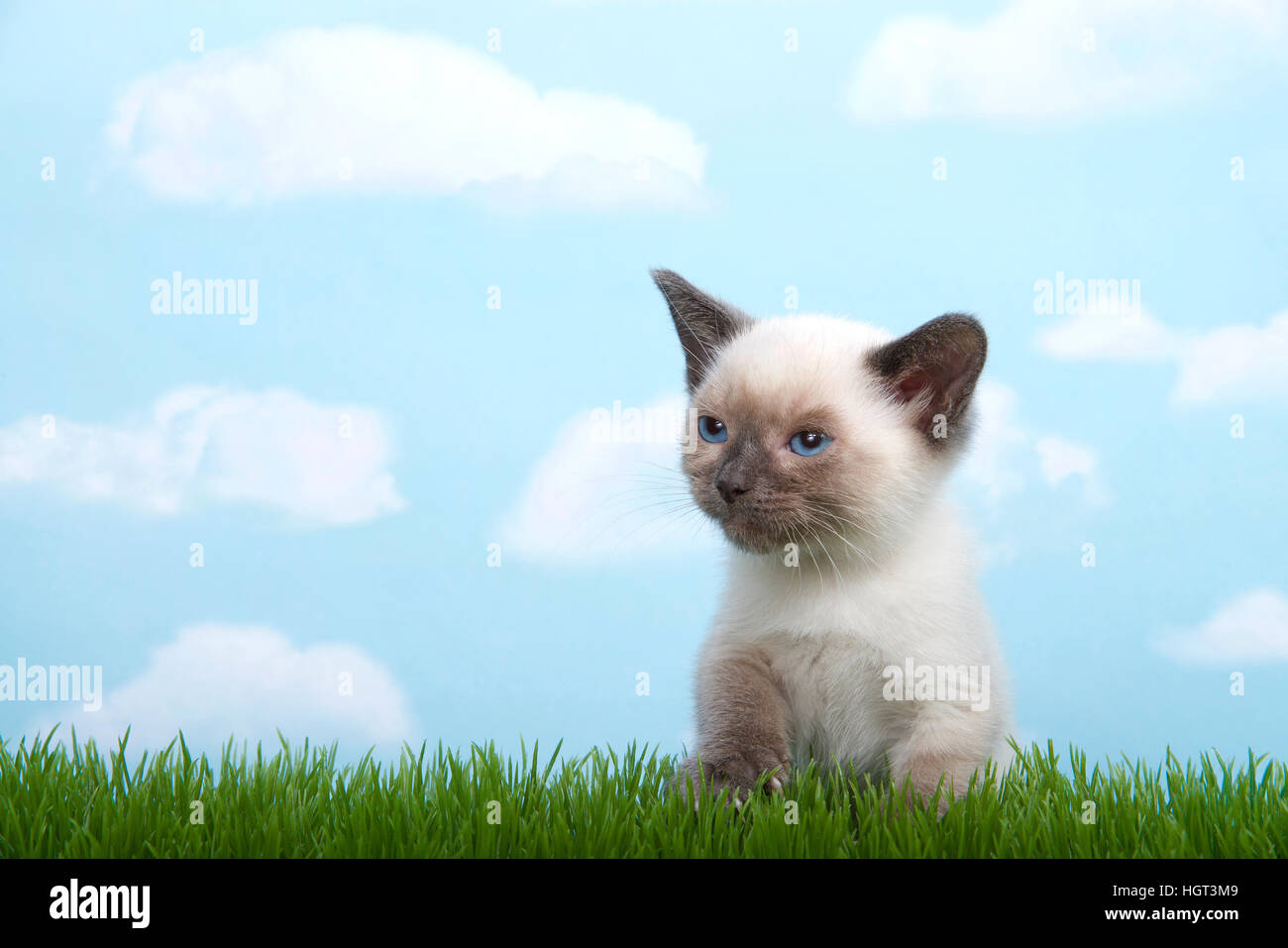 One tiny siamese kitten with munchkin traits sitting in grass looking to viewers left. Blue background, sky with - Stock Image