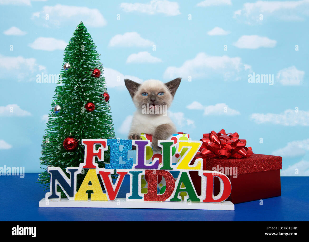 Small Siamese kitten with Munchkin characteristics sitting in a christmas present with red box and bow on one side, - Stock Image