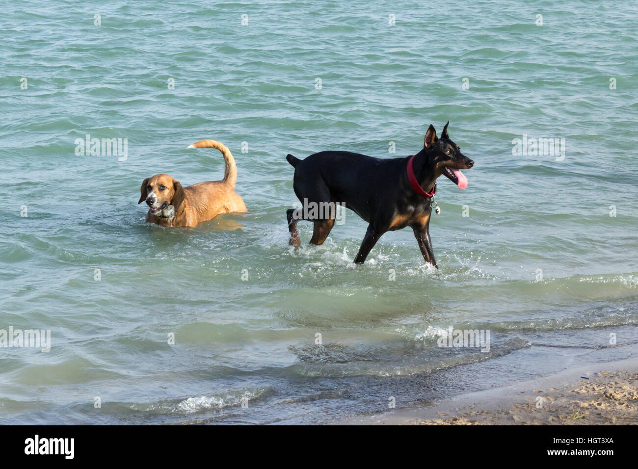 Beagle Corgi mutt cooling off in the waters of a dog park retention pond as his Doberman pal eagerly waits to fetch - Stock Image