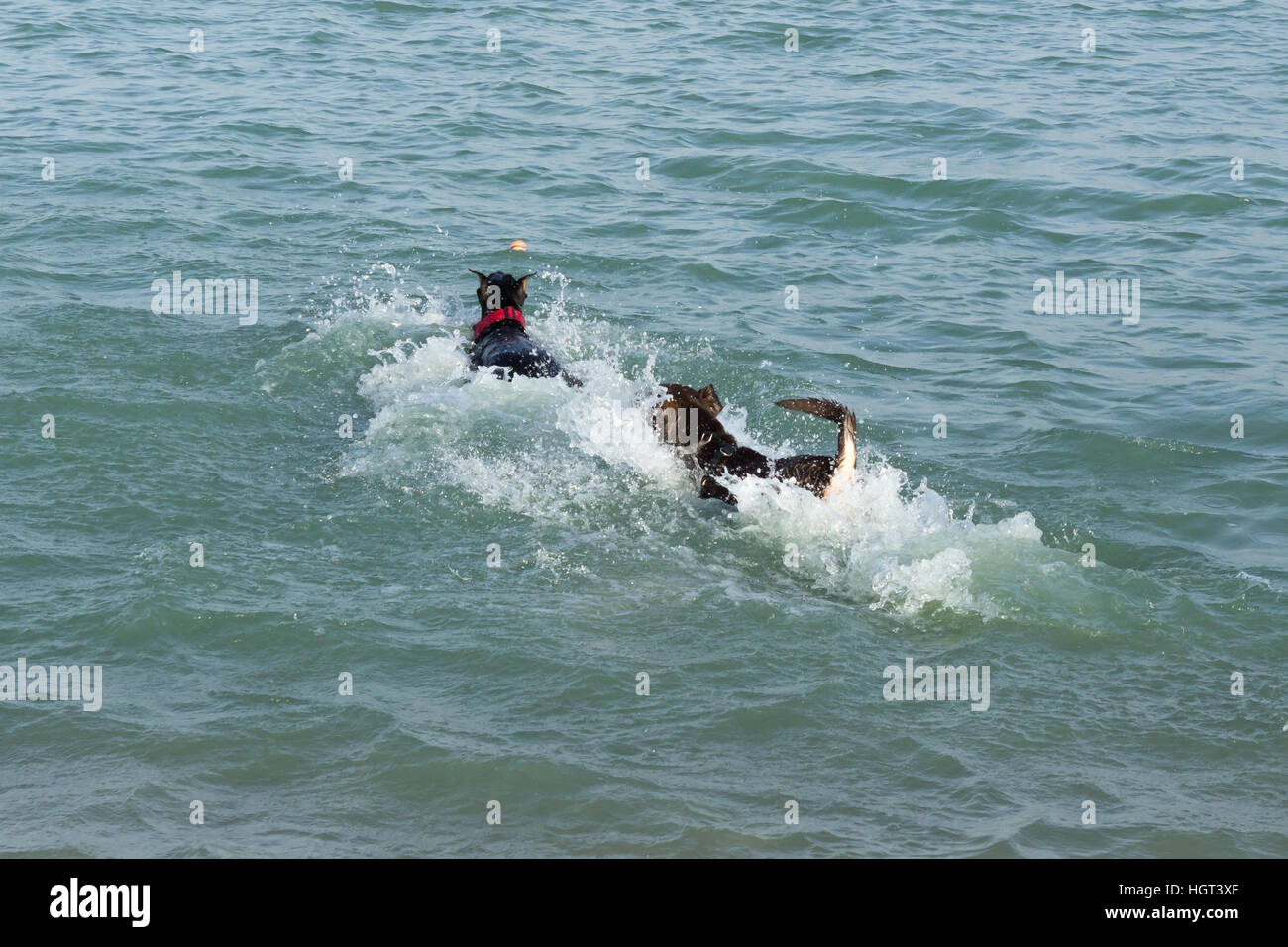 Doberman pinscher and a german shepherd mix nearly hidden in a splash of water, caught up in a two dog race to fetch - Stock Image