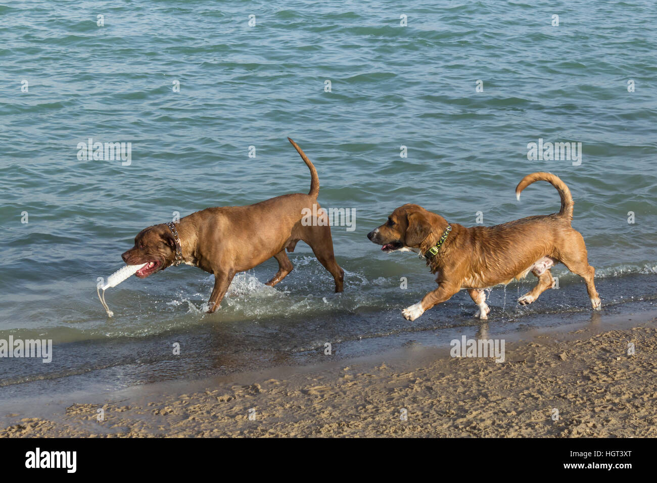 Beagle Welsh Corgi mutt tagging along behind a pit bullterrier bullmastiff mix carrying a fetch toy on the shore - Stock Image