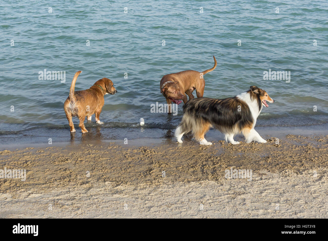 Beautiful collie attracts admiring gawk from the funny bullmastiff mutt while his Beagle Corgi pal wonders why the - Stock Image