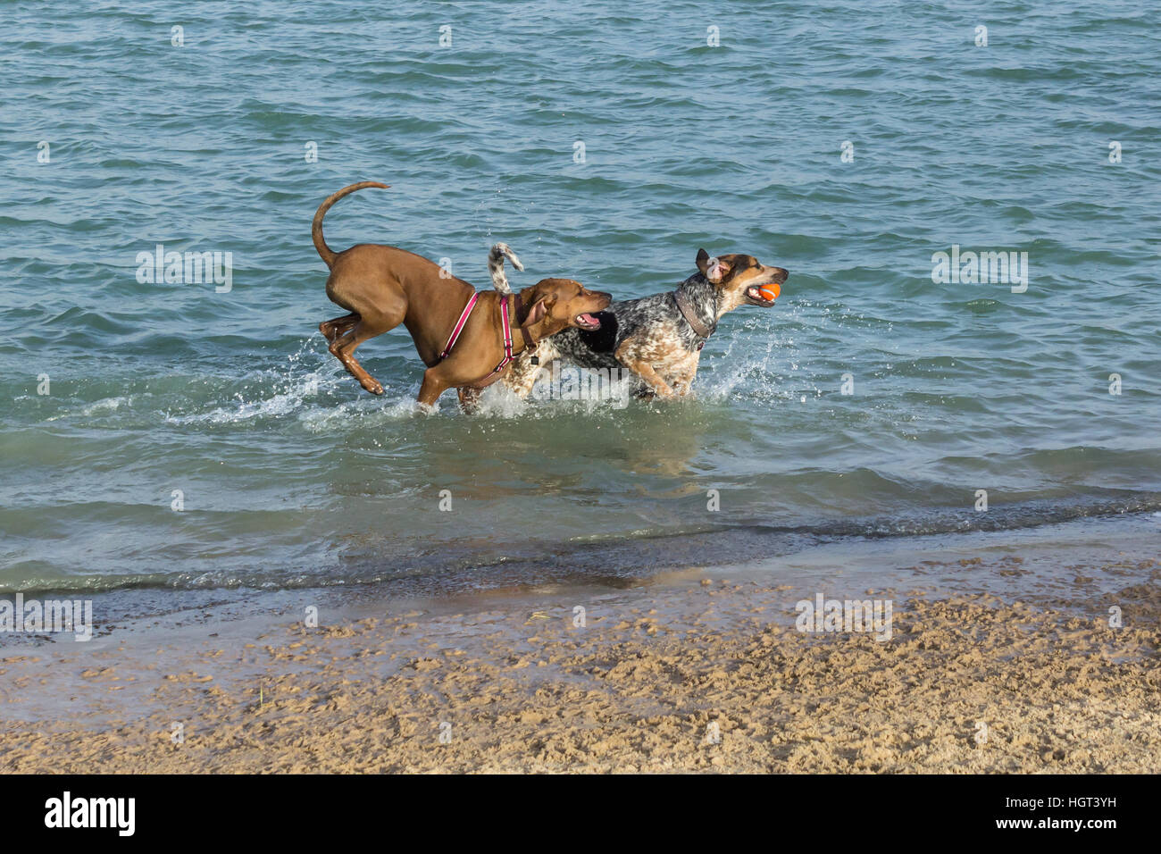 Coonhound and Rhodesian Ridgeback mutts playing fetch in a dog park pond splashing near the beach - Stock Image