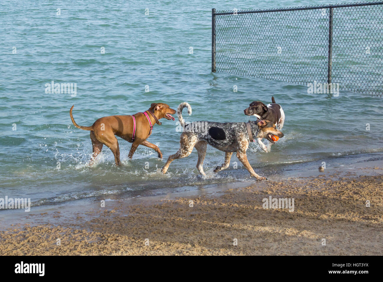 Dog park companions in a retention pond, two mutts observing a hound return the ball in a watery game of fetch. Stock Photo