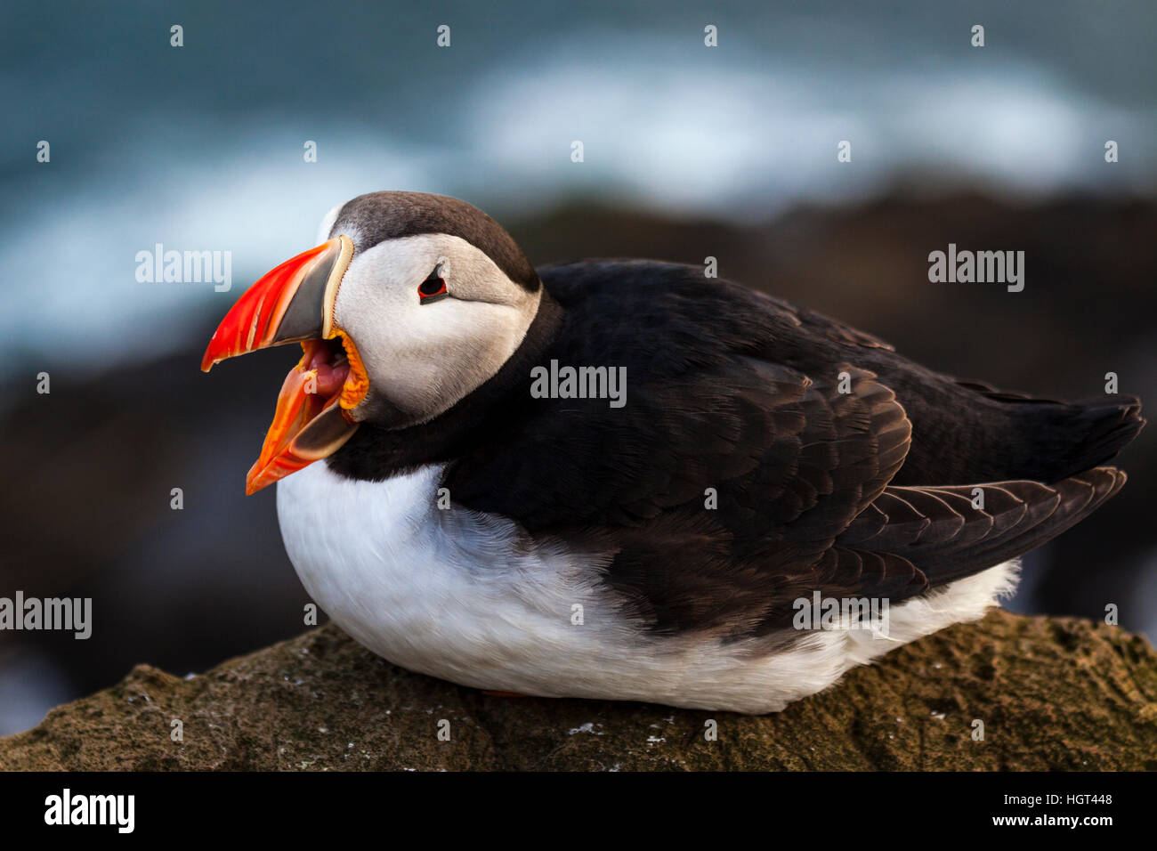 Puffin (Fratercula arctica), open-mouthed sitting on rocks, cliffs at Látrabjarg, Peninsula Westfjords, Iceland - Stock Image