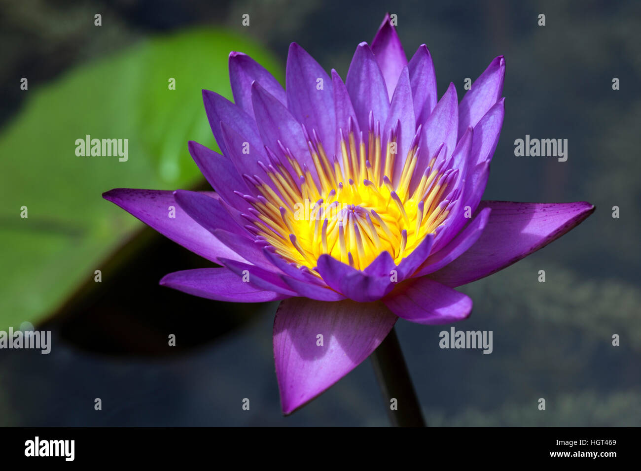 Blue lotus also blue water lily or sacred blue lily nymphaea stock blue lotus also blue water lily or sacred blue lily nymphaea caerulea flower sri lanka mightylinksfo
