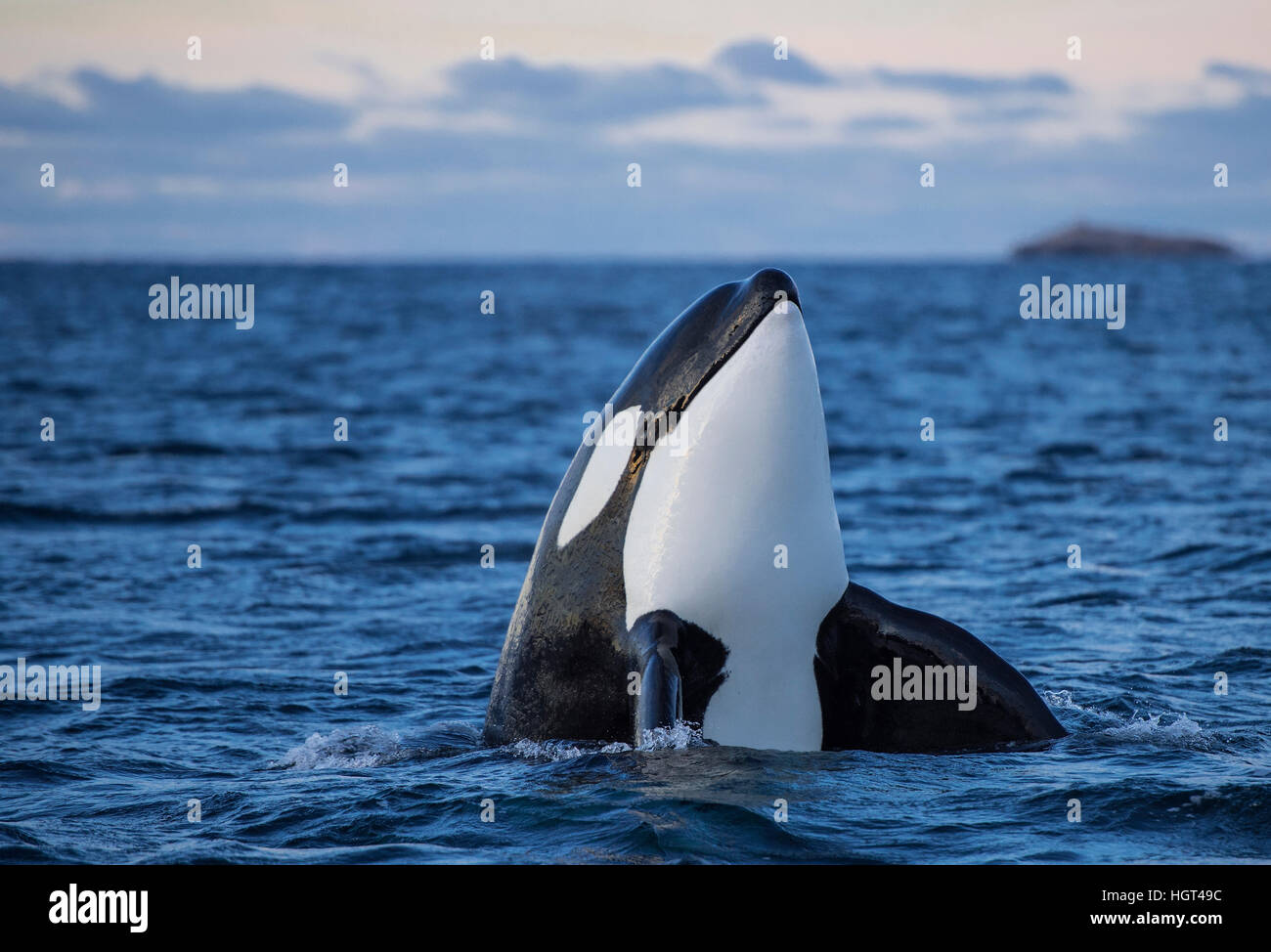 Orca or killer whale (Orcinus orca), spyhopping, Kaldfjorden, Norway - Stock Image