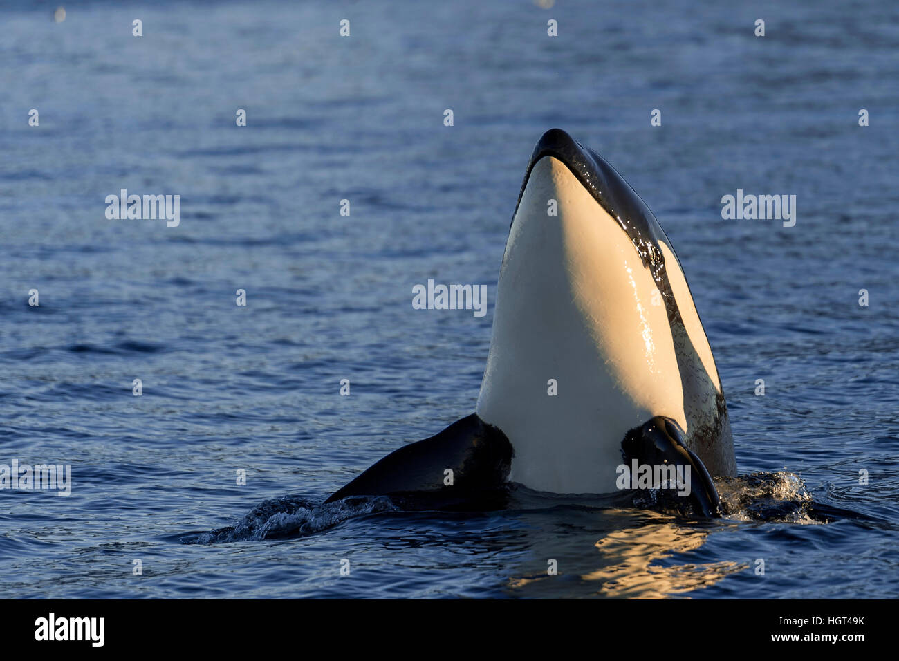 Orca or killer whale (Orcinus orca), spyhopping, Kaldfjorden, Norway - Stock Image