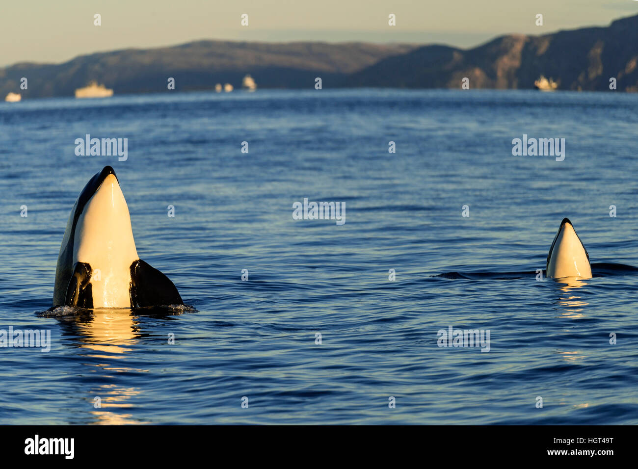 Orcas or killer whales (Orcinus orca), spyhopping, Kaldfjorden, Norway - Stock Image