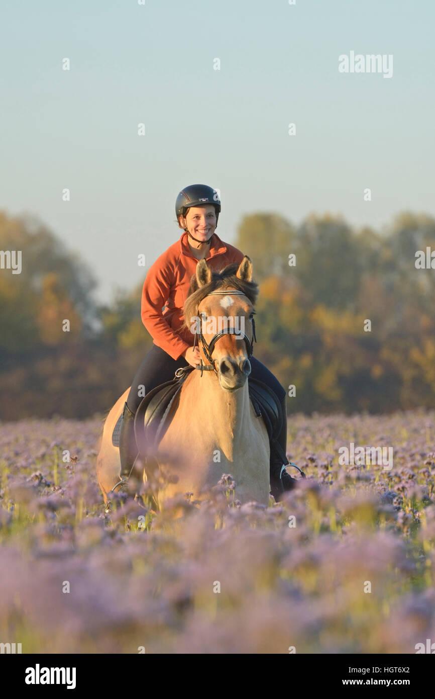 Junge  Reiterin auf Fjordpferd (Norweger) galoppiert in einem herbstlichen Luzerne Feld / Young rider on back of Stock Photo