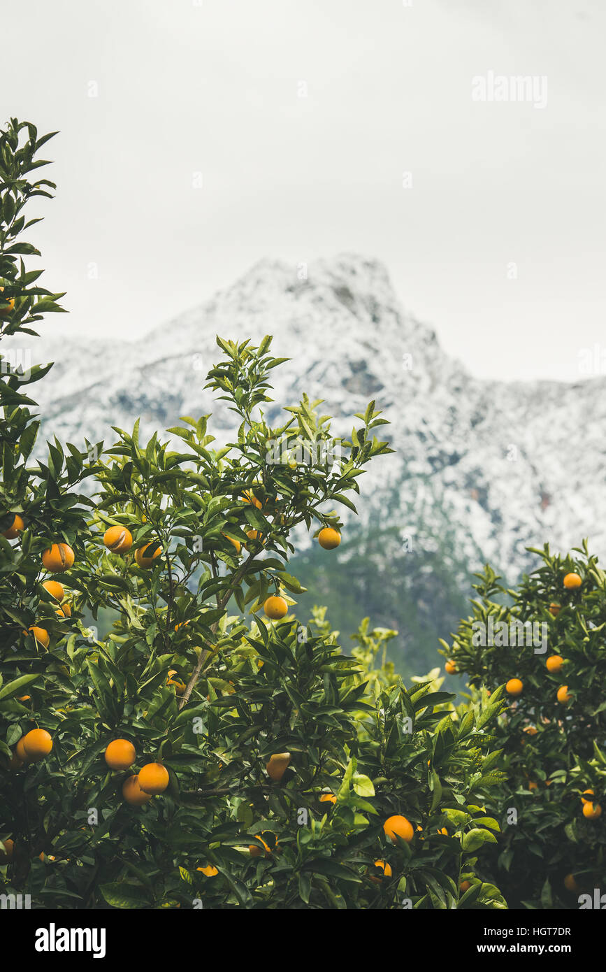 Orange trees with oranges in mountain garden, Dim Cay, Alanya - Stock Image