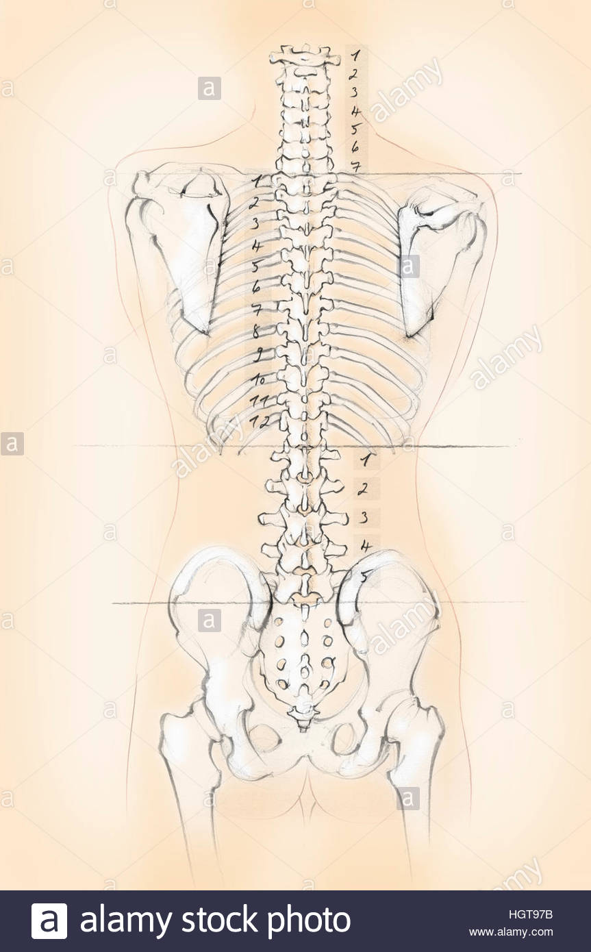 Diagram of the human spine with numbers for cervical, thoracic and ...